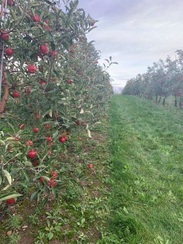 A row of trees full of bright red apples extends down into the skyline.