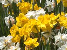 SyracuseU-daffodils-in-spring