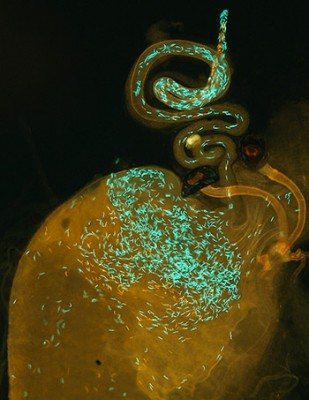 "A ""Drosophila simulans"" reproductive tract, following hybrid insemination by a ""D. mauritiana"" male (red sperm heads) and then remating with a ""D. simulans"" male (green sperm heads)."