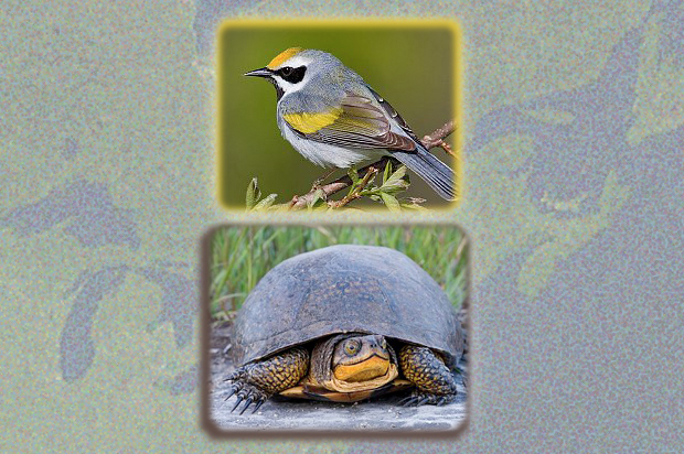 The golden-winged warbler and the Blanding's turtle can thrive in the shallow waters and adjacent dense vegetation typical of swampy marshes in restored wetlands.