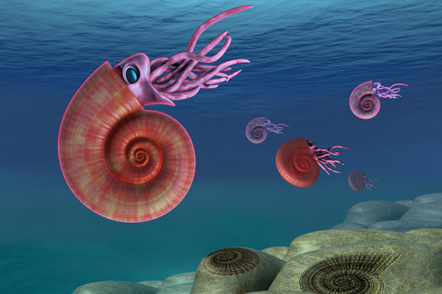 •Known for their coiled shells made up of multiple chambers, free-swimming ammonites were common during the Cretaceous and Devonian periods.