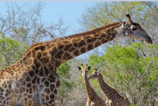 At Mkhaya Game Reserve, a South African giraffe feasts on acacia trees with a protective eye toward her young offspring. ( All photos by Chase Guttman)