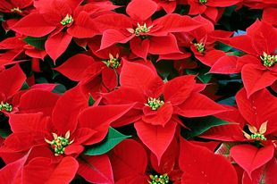 Women of the University Community poinsettia sale