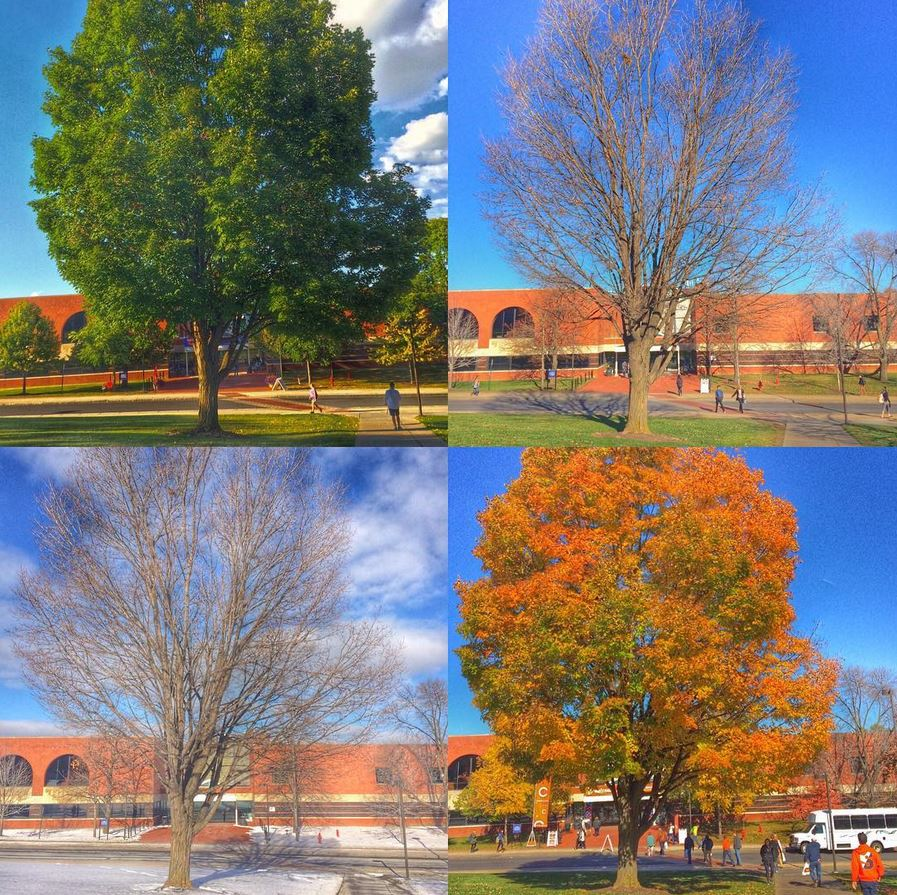 Collage of tree in four seasons