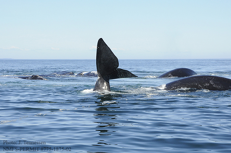 Right whales in a surface active group in the Bay of Fundy, Canada (Photo by J. Tennessen)
