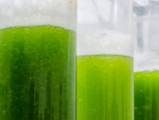 Algae in tubes