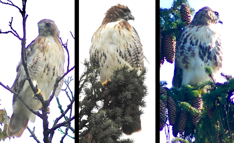 three hawks