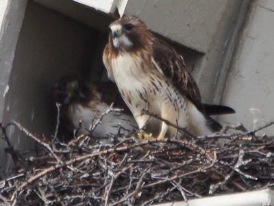 two hawks in nest