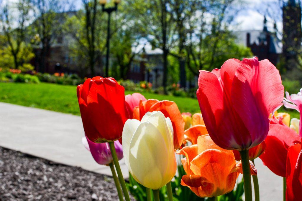 tulips spring campus