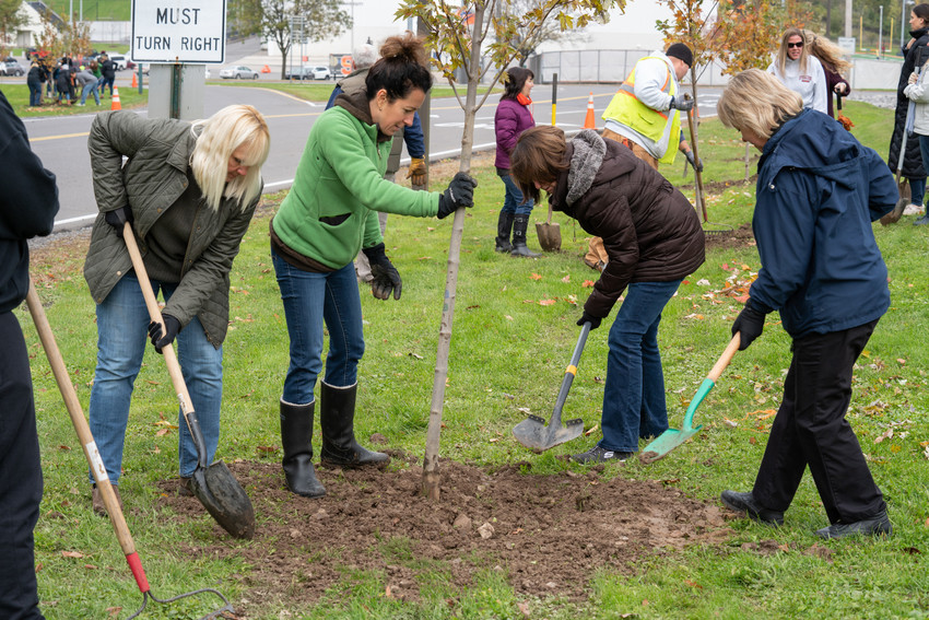 Volunteers planting a young maple tree.