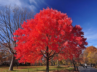 An Autumn Blaze Maple.
