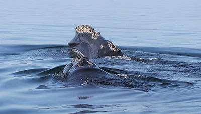 right whale in water