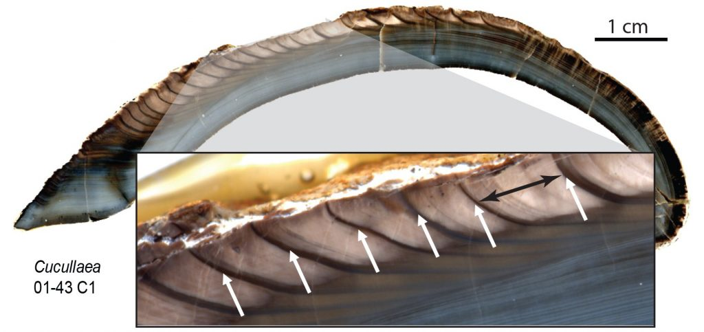figure depicting growth increments on a clam shell