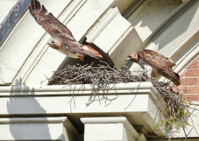 two hawks in a nest