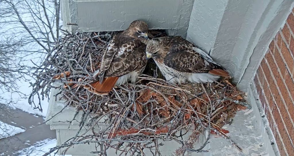 hawks in a nest