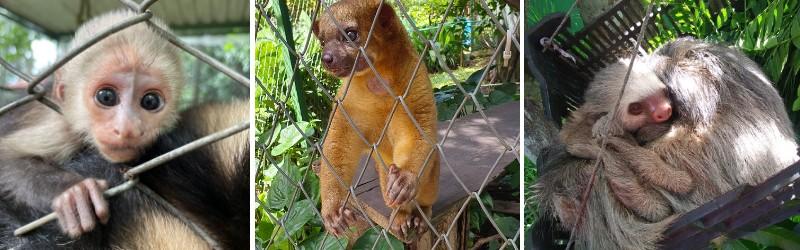 composite image of a capuchin monkey, a kinkajou and a sloth in Costa Rica